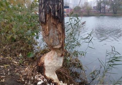 Точат зуб: на Позняках бобры облюбовали деревья возле озера